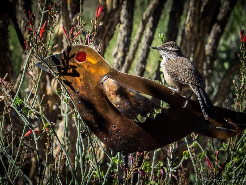 mjensen_cactus-wren-fledgling-
