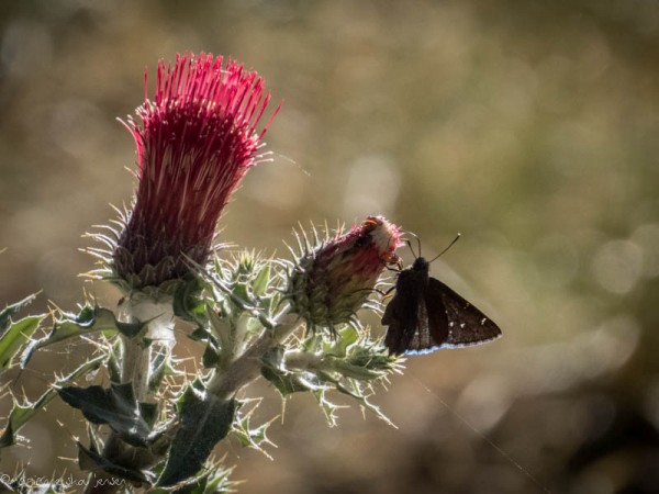 Northern Cloudywing on Arizona Thistle