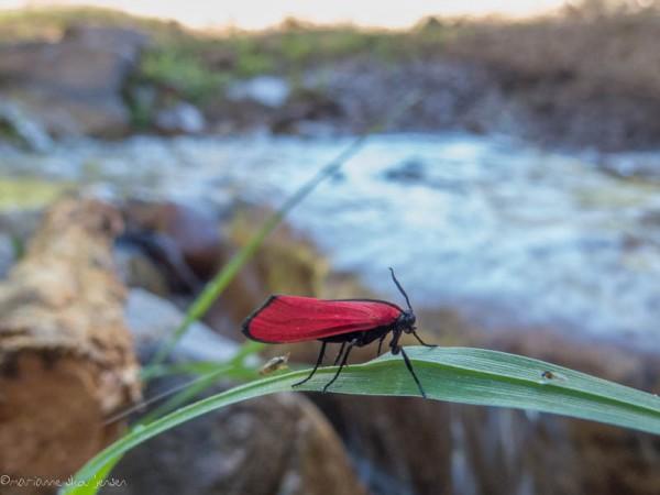 Red Lichen Moth
