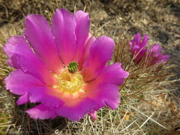 Hedgehog Cactus Hybrid