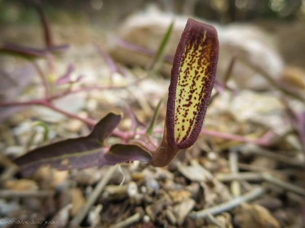 Aristolochia watsonii