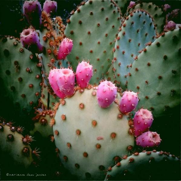 Prickly Pear Cactus Fruit