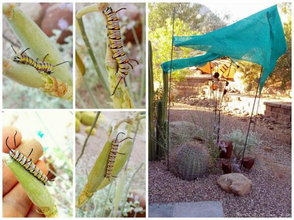 Queen Caterpillars under Shade