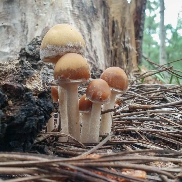 Stropharia aka Tiny Mushroom Family