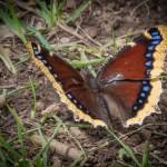 mjensen_butterfly-mourning-cloak-9160