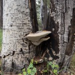 Bracket Fungus on Aspen