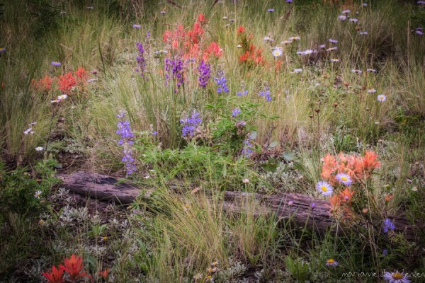 Lockett Meadow Wildflowers  (Indian Paintbrush, Fleabane, Lupine and Purple Loco Weed) I photogragraphed this scene from under an umbrella :-)