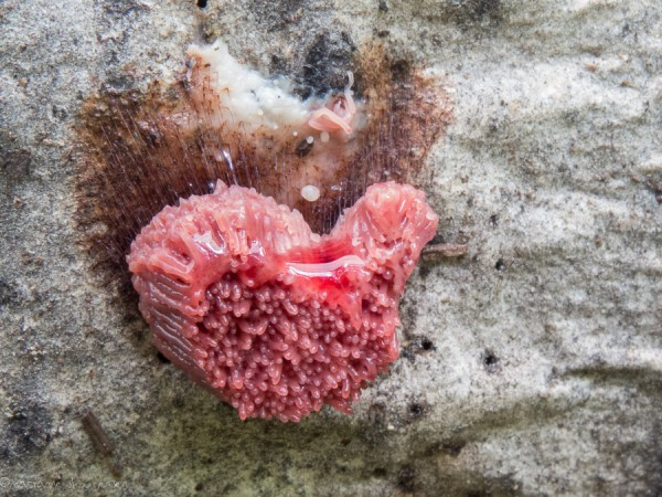 Pink Slime Mold in the shape of a heart :-)