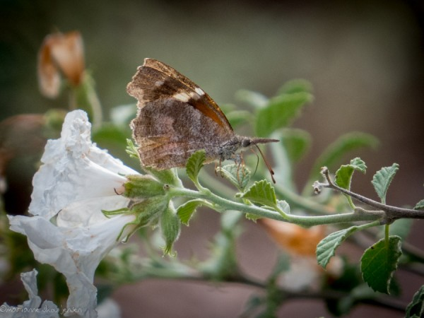 "American Snout butterfly on my Little Leaf Cordia. Interestingly, his ""nose"" is actually two separate parts."