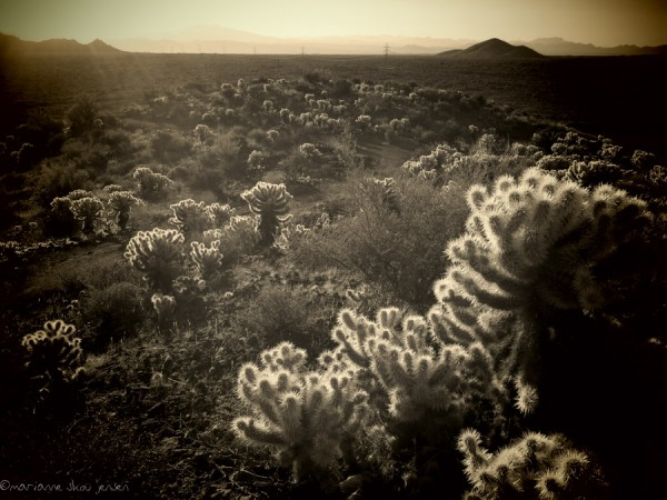 Teddybear Cholla forest on either side of the Browns Peak Trail. (Canon N)