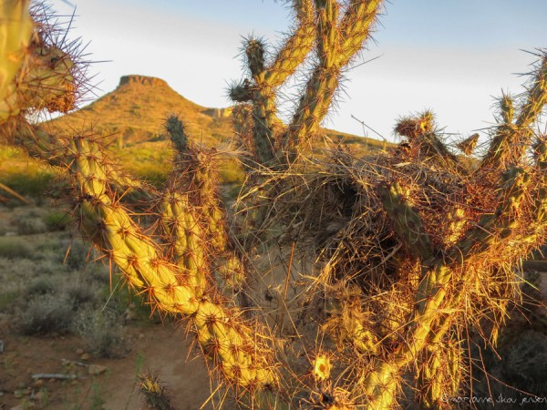 Cactus Wren nest in a Buckhorn Cholla spotted on an early morning hike to the top of Browns Mtn (background)