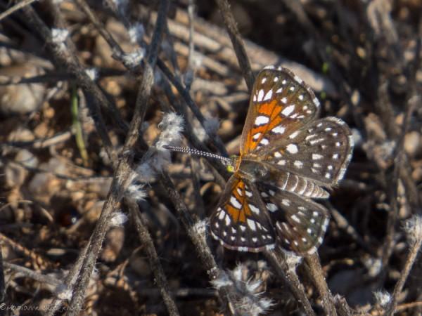 Mormon Metalmark butterflies are everywhere including my garden. Very tiny! (Canon SX50)
