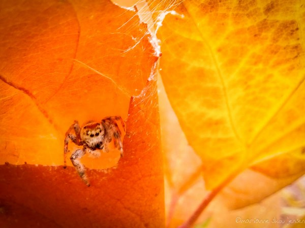 A jumping spider on the edge of his cozy leaf home. Not completely in focus but I was thrilled to get it. (smartphone)