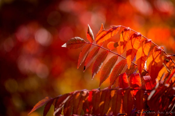 Sumac leaves in magic light! (Fuji X E-1)