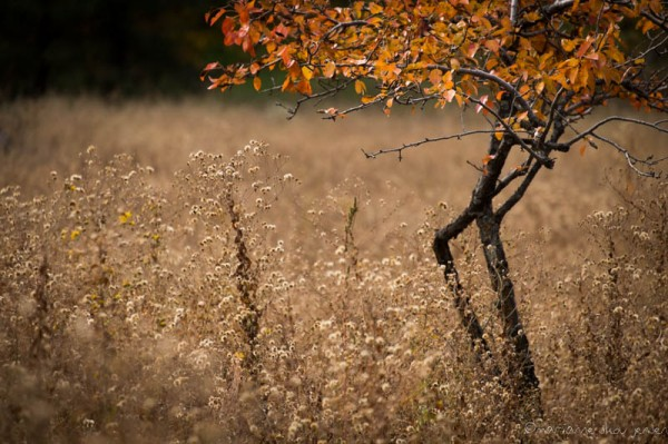 Apple Tree and Dried Wildflowers. An overcast day is the time to photograph weeds! (Fuji X E-1)