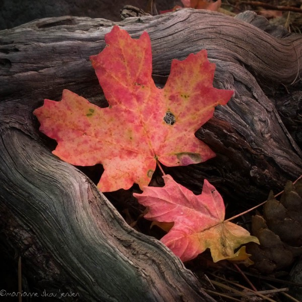 It's difficult to find unblemished Maple Leaves. I think it must be our warm fall that gives bugs and fungus a chance to get to them. (smartphone)
