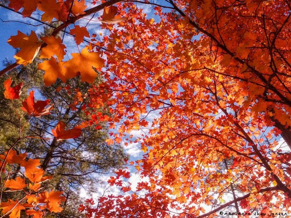 Maples and Magic Light. (smartphone)