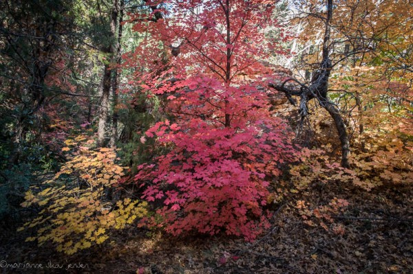 Maple Trees in all colors at Slide Rock State Park (Fuji X E-1)