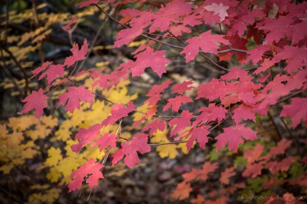 Red and Yellow Maples at Slide Rock State Park (Fuji X E-1)