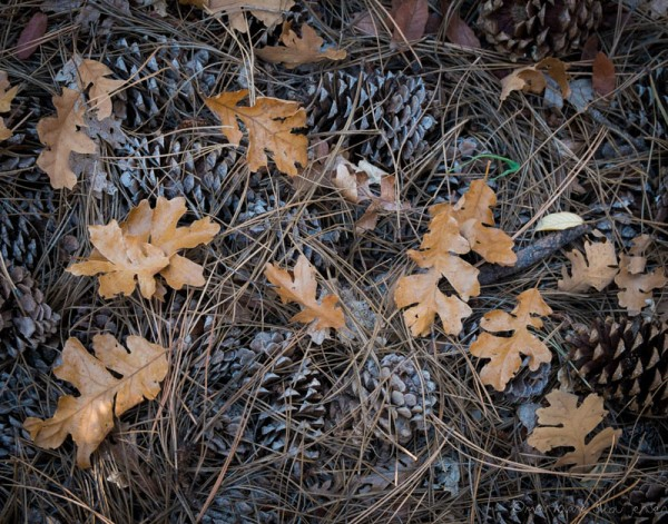 Oak leaves and Pine cones at Slide Rock State Park. (Fuji X E-1)