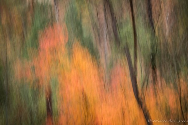 Maples in Motion. (Fuji X E-1)