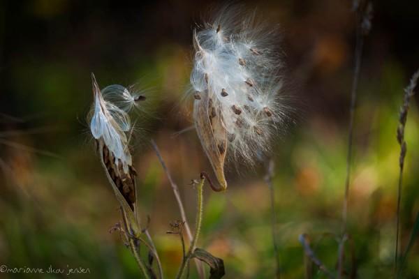 Milkweed Seedpods - A bonus photo op! (Fuji X E-1)
