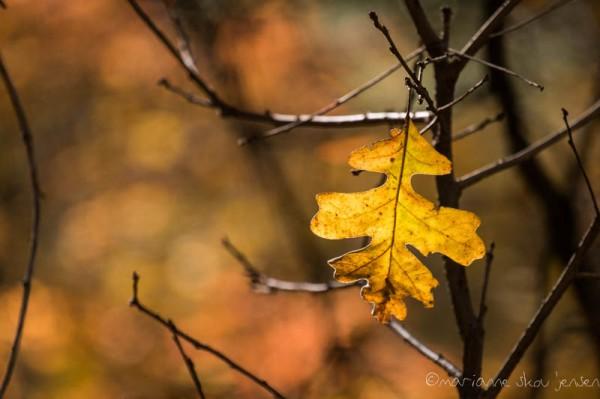 Oak Leaf hanging on. Captured with my 55-200mm lens at 200mm, (Fuji X E-1)