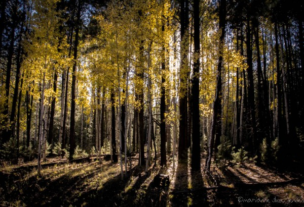 I love photographing Aspen Trees against the sun!