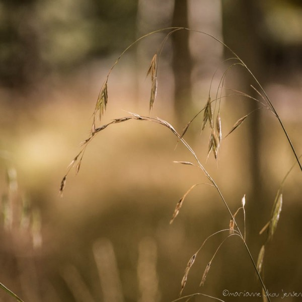 Grasses at Locket Meadow thru my 55-200 lens. (Fuji X E-1)