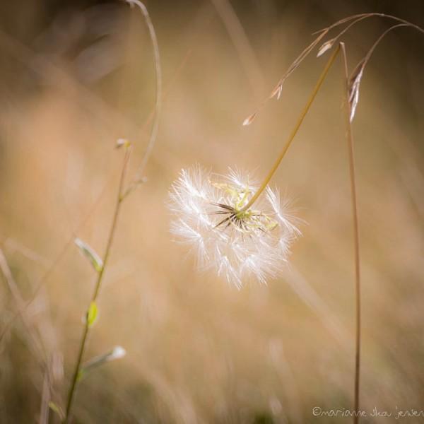 Seed head at Lockett Meadow seen through my 55-200mm lens. (Fuji X E-1