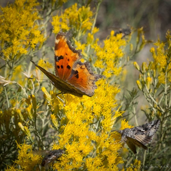 Satyr Comma and unidentified day-flying Moth. (Fuji X-E1)