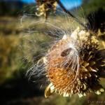 mjensen_buffalo-park-milkweed-seed-4257