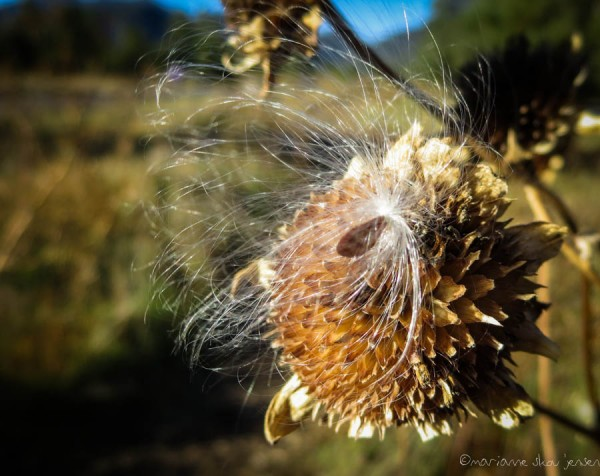 A sure sign of Fall....Flying Milkweed seeds and dried Sunflowers. (Canon N)