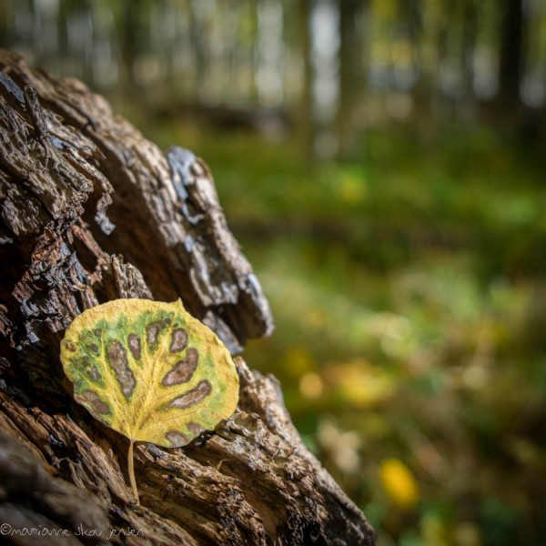 An unusually patterned Aspen Leaf at Lockett Meadow. I need to stop collecting leaves! (Fuji X-E1