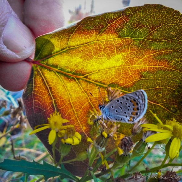 Western Pygmy Blue captured with my Galaxy Smartphone. I had positioned the leaf to make focusing easier for the phone but I ended up loving it. Wish I had done it with the higher resolution camera!