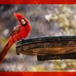 msjensen-cardinal