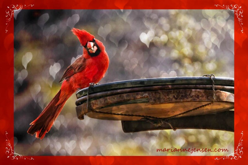 What a treat to have Cardinals visiting my feeder every morning! They also nest on my property every year and sometimes I'm lucky to see fledglings. So incredibly cute!