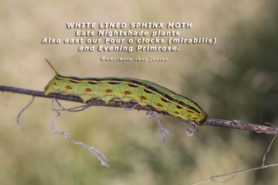 White lined sphinx moth life cycle - photo#11