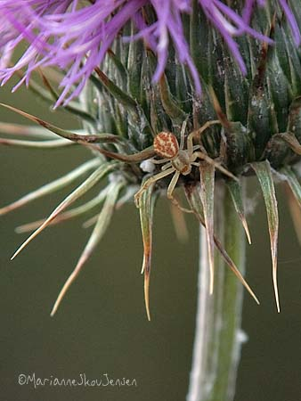 Crab spider on New Mexico Thistle