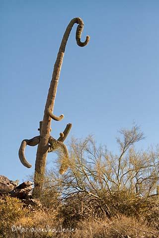 elephant saguaro