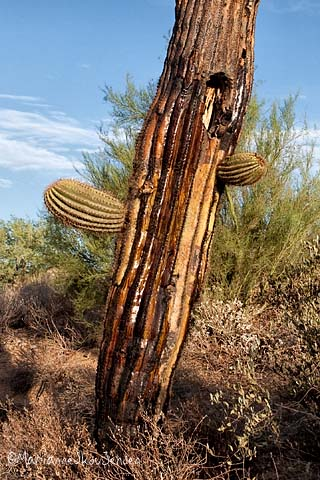 frost damage on saguaro