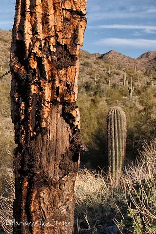 decaying saguaro