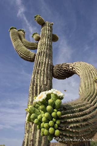 saguaro blooms at eye level