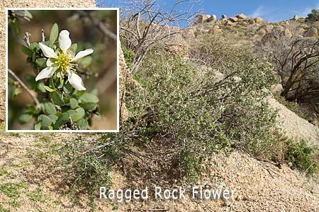 ragged rock flower
