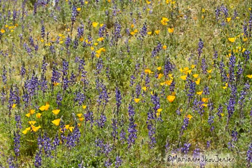 lupines and lupine