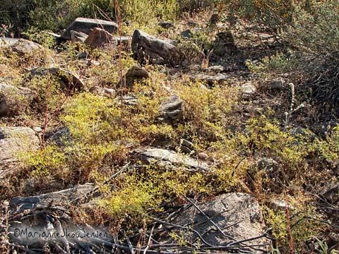 brittle spineflower