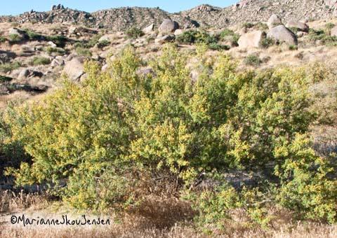 white thorn acacia