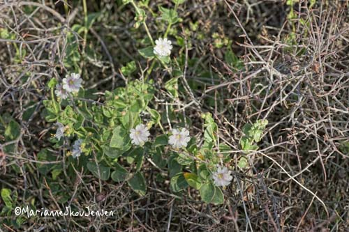 desert wishbone bush